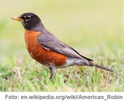 Turdus migratorius 