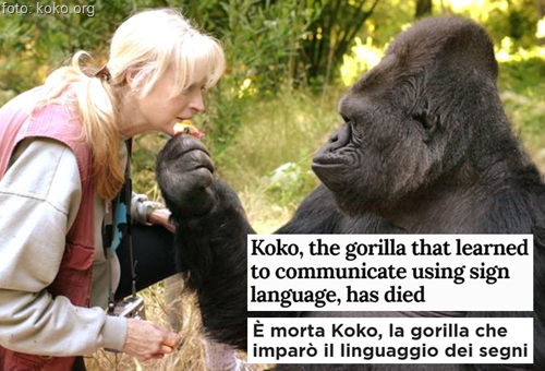 Koko, the gorilla that learned to communicate using sign language, has died - È morta Koko, la gorilla che imparò il linguaggio dei segni