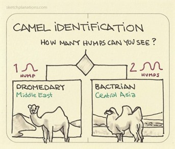 Camel identification. How many humps can you see?