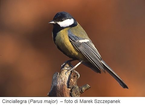 Cinciallegra (Parus major) – foto di Marek Szczepanek